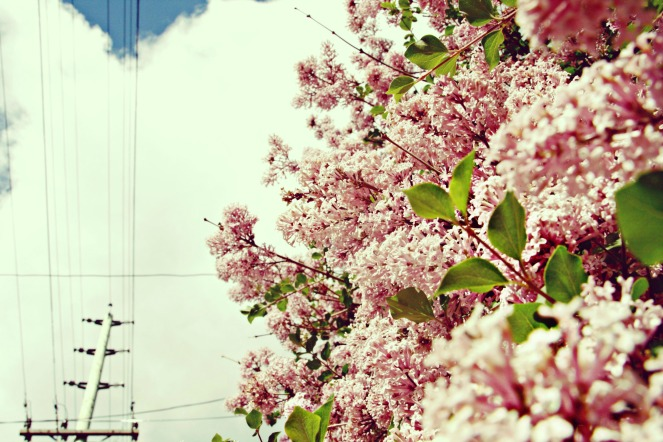 lilacs for the blog