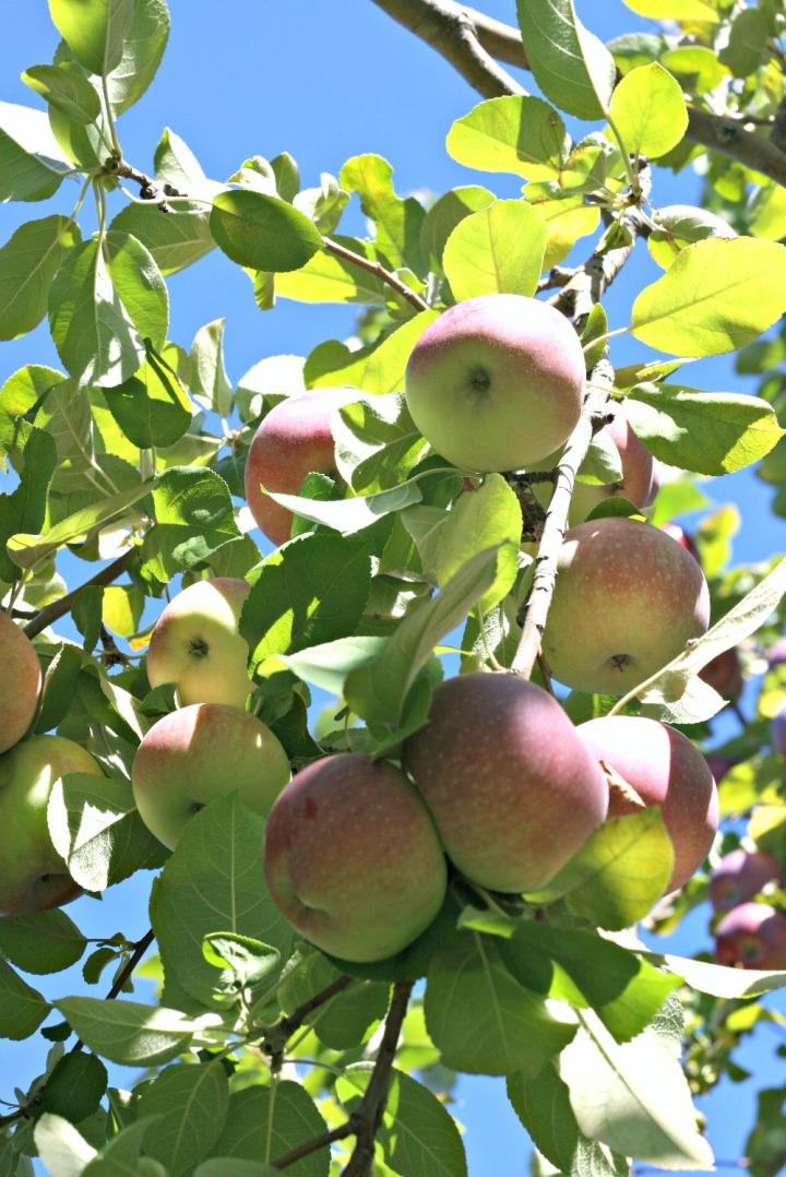apple-picking-apple-closer-up-vertical
