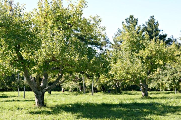 apple-picking-apple-trees