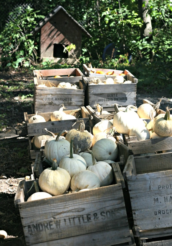 apple-picking-baskets-of-white-pumpkins