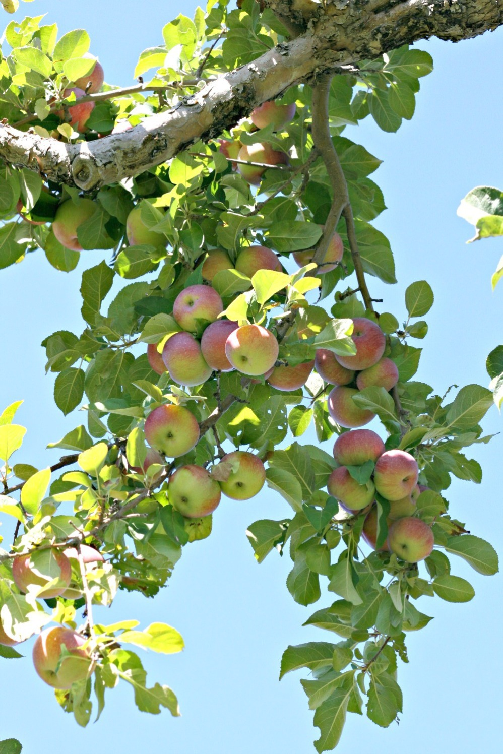 apple-picking-first-image-2