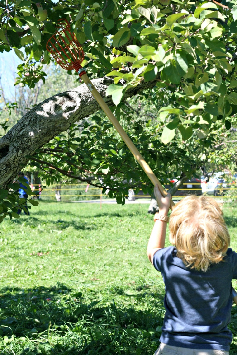 apple-picking-j-reaching-with-picker