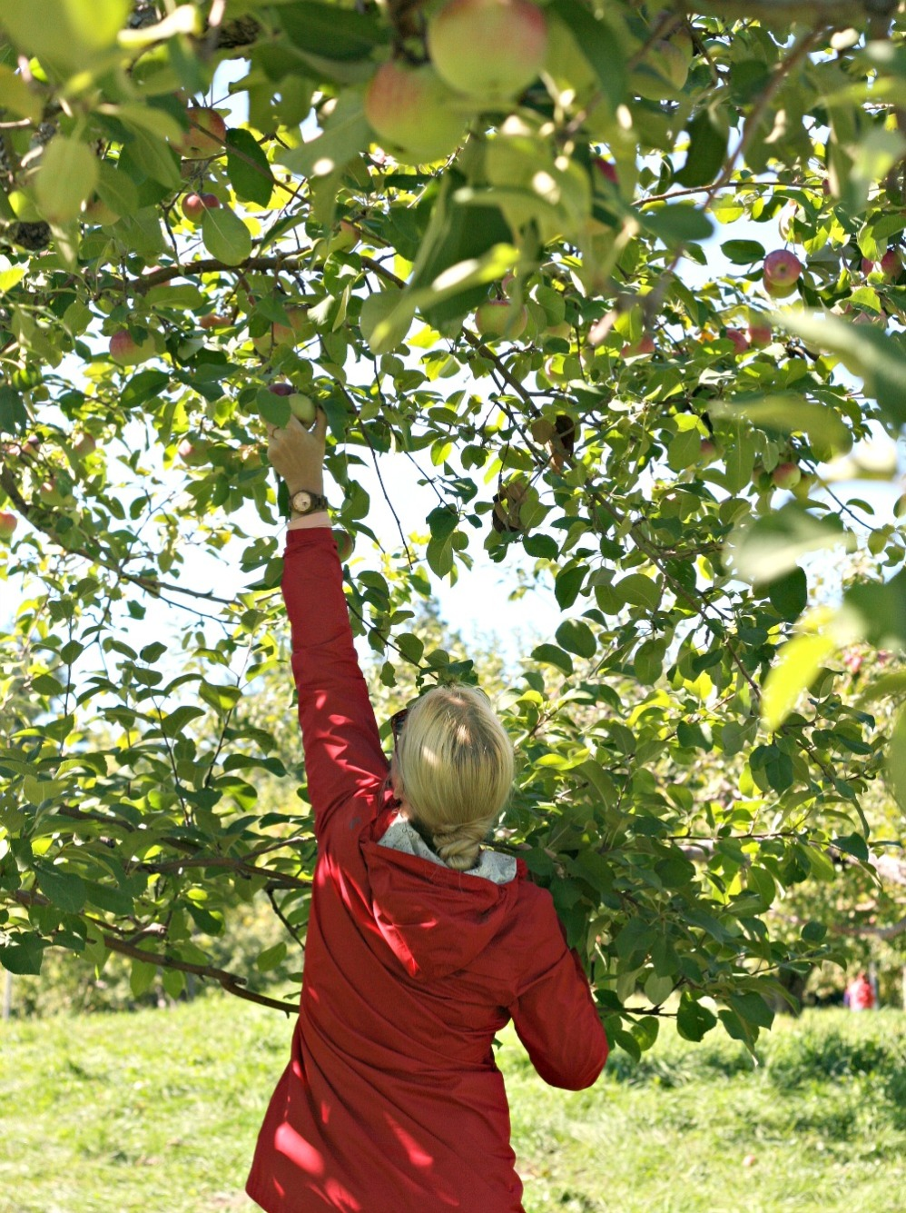 apple-picking-reaching-for-an-apple-vertical