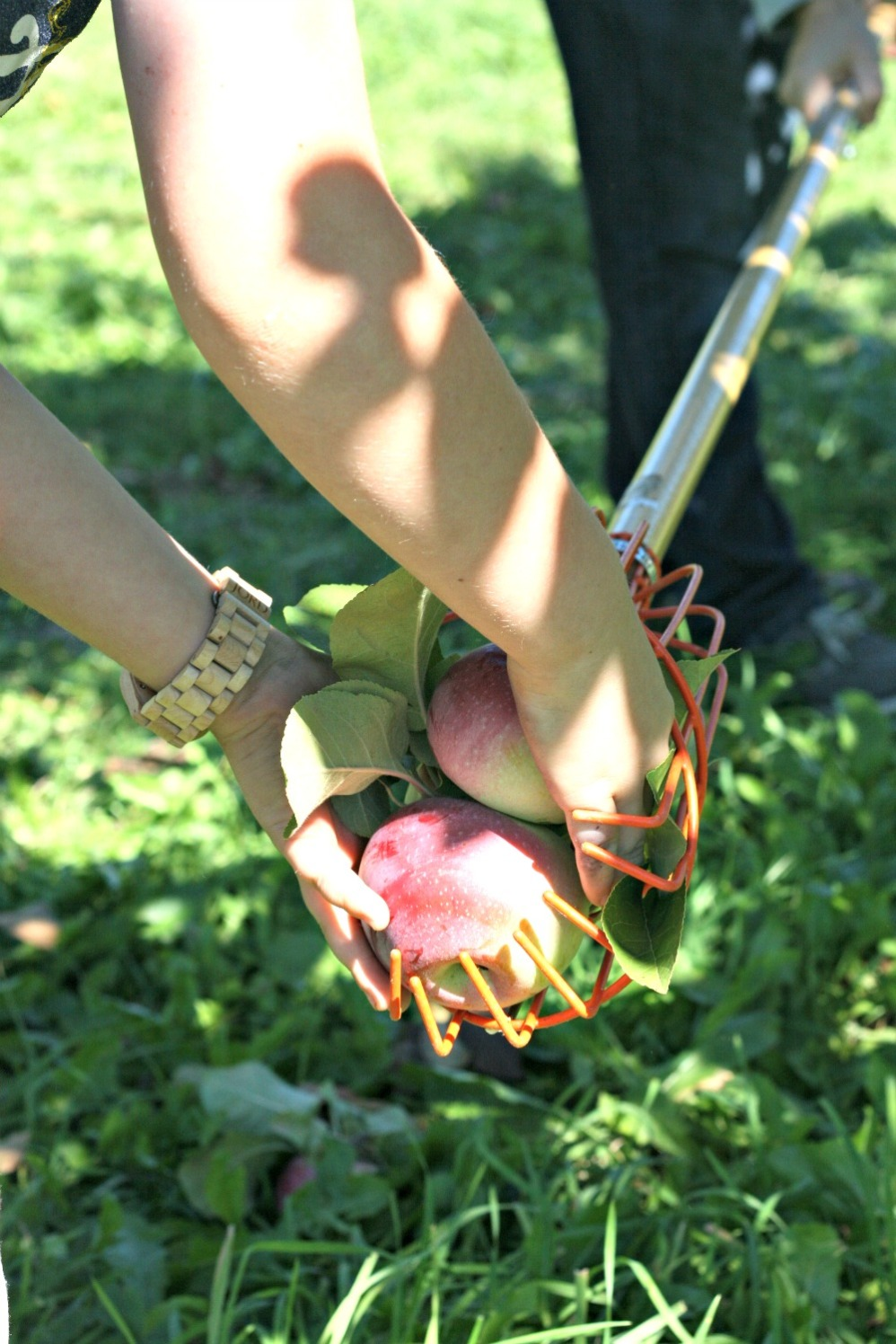 apple-picking-taking-apples-out-of-picker