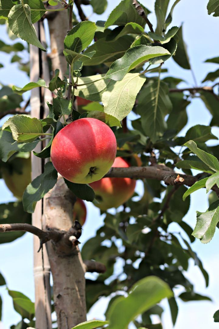 Chudleighs Sunrise apple